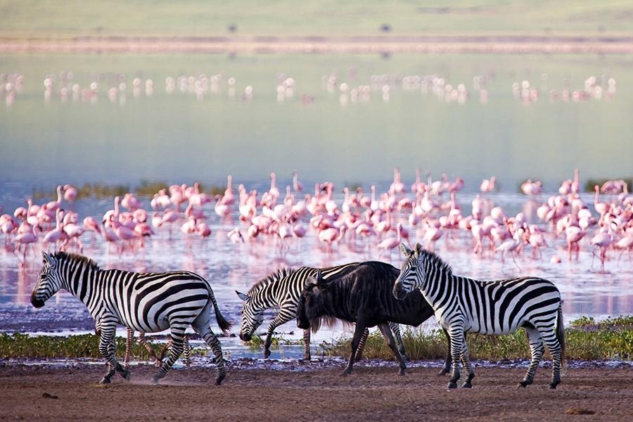 Flamingo walk Lake Natron