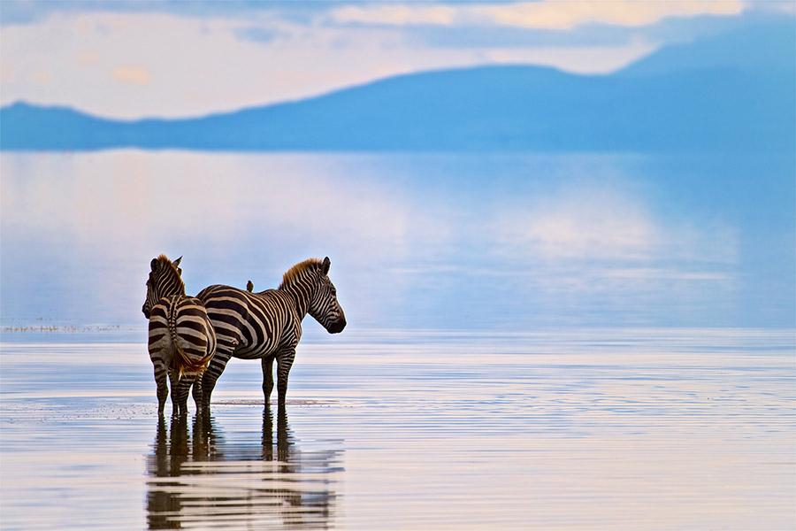 Two Zebras in Lake Manyara